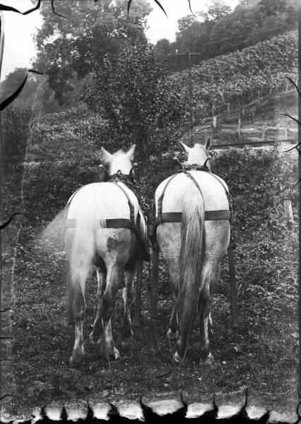Horses in harness photograph