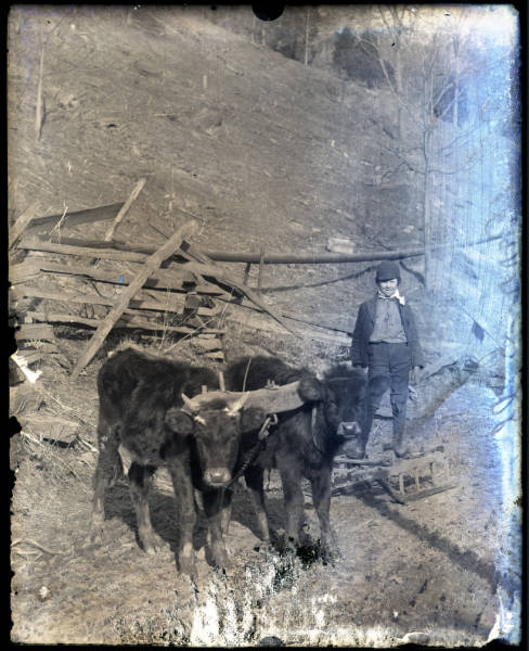 Boy with two yoked cattle photograph