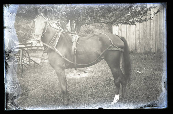Horse in harness photograph