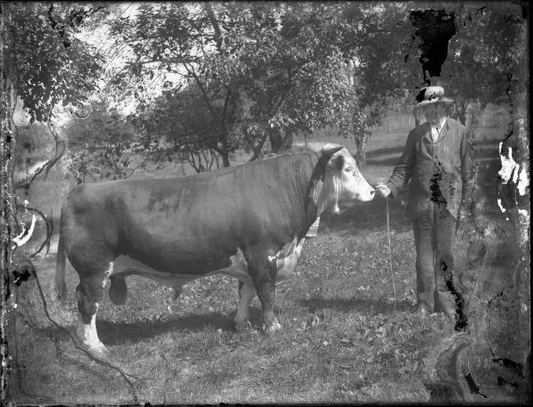 Man holding leashed bull