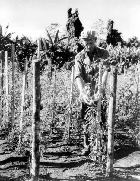Victory garden on Bougainville Island photograph
