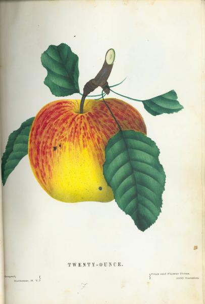'Twenty-Ounce Apple' botanical illustration