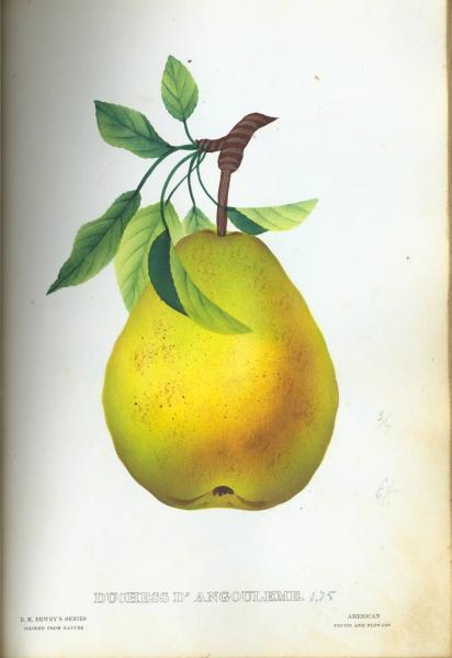 'Duchess d' Anjouleme Pear' illustration