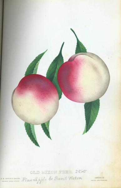'Old Mixon Free Peaches' illustration