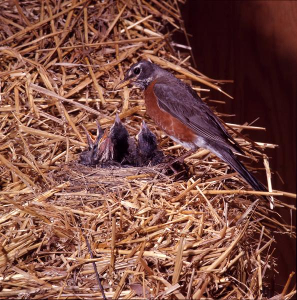 American Robin photographs