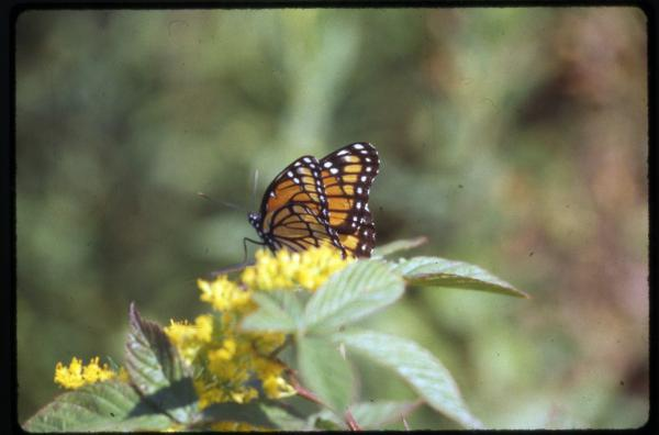 Viceroy butterfly photograph