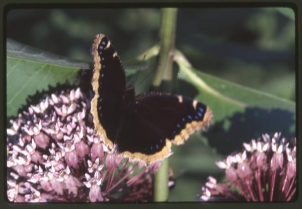 Mourning cloak butterfly photograph