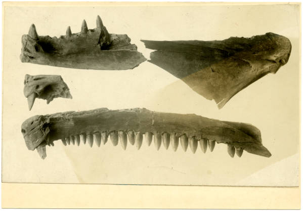Barracuda jaws from Hopewell Mound Group