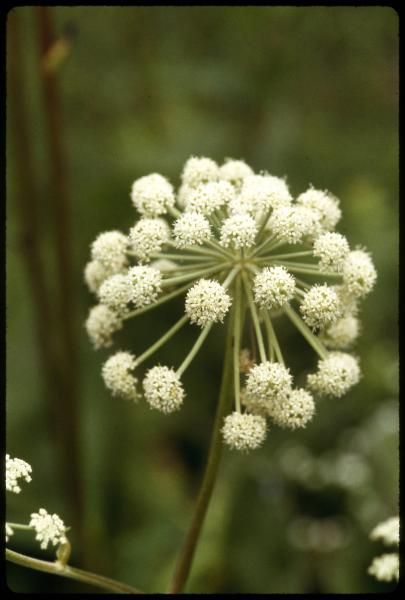 Water parsnip photograph