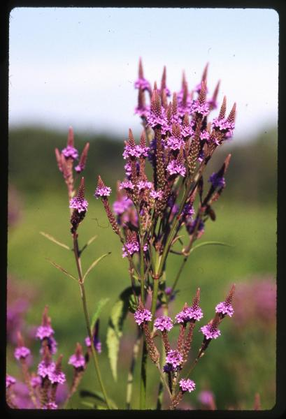 Blue vervain photograph