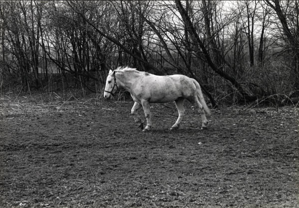White horse walking in field