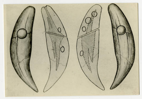 Bear teeth from Hopewell Mound Group drawing
