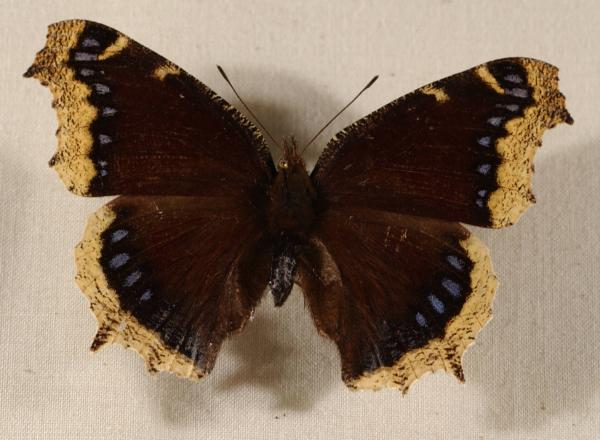 Mourning Cloak Butterfly Nymphalis antiopa photograph