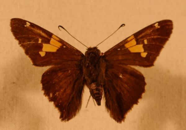 Persius Dusky Wing Butterfly Erynnis persius