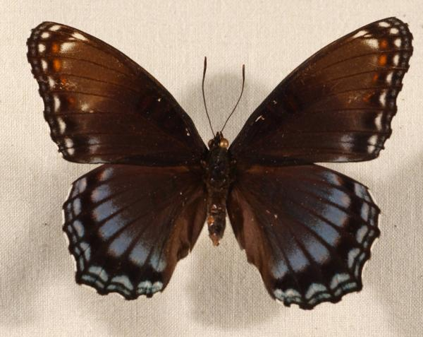 Red-spotted purple butterfly Limentis arthemis astyanax