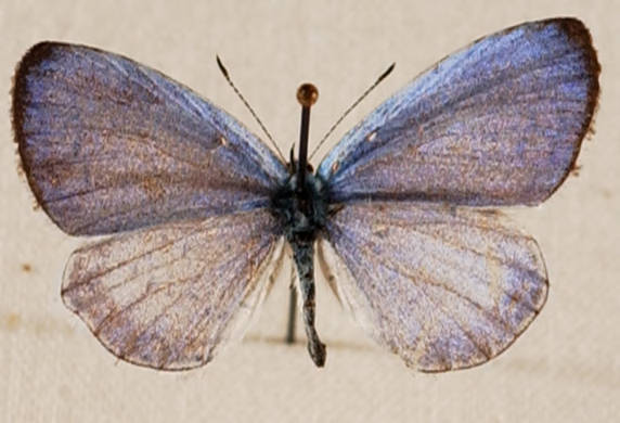 Spring azure butterfly Celastrina ladon photograph