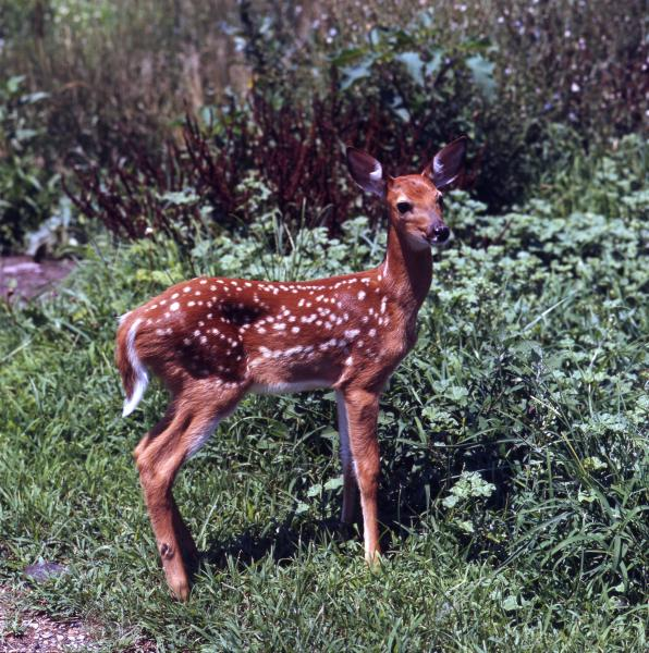 White-tailed deer photographs