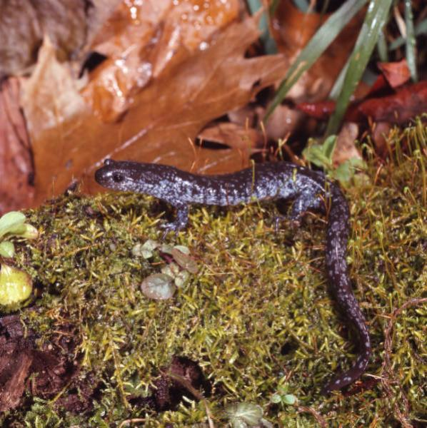 Blue-spotted salamander photographs