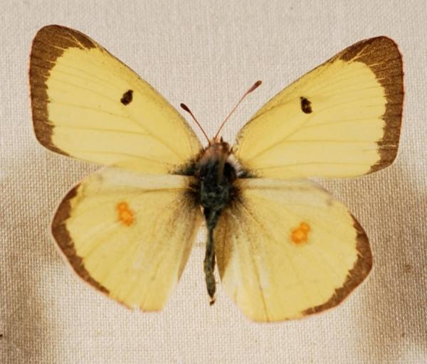 Clouded Sulfur Butterfly Colias philodice