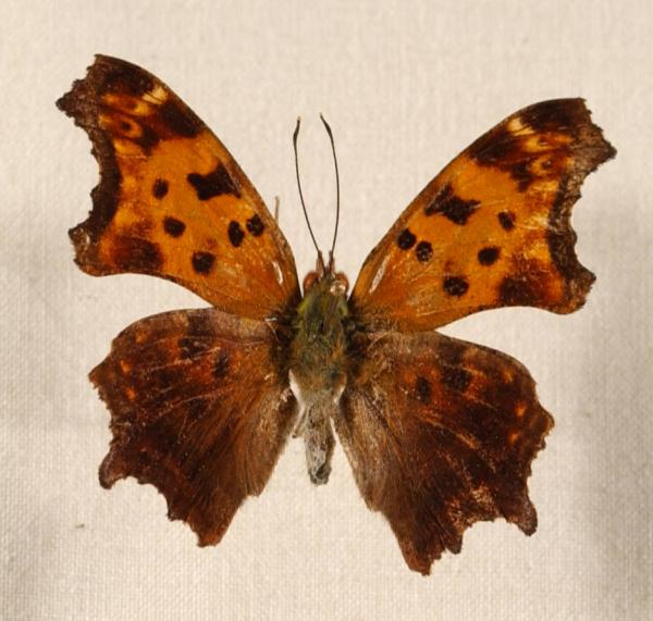 Comma Butterfly Polygonia comma