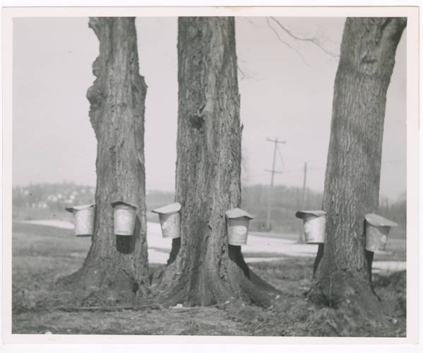 Three trees tapped for Maple Syrup