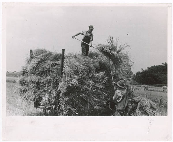 Loading the sheaves of wheat