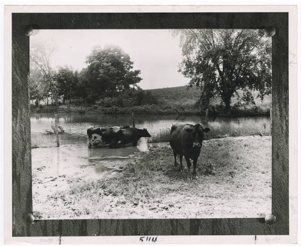 Cattle cooling off in water photograph