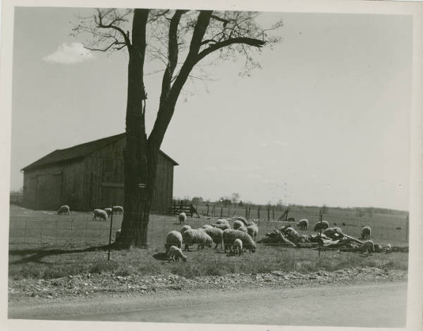 Sheep farming in Warren County