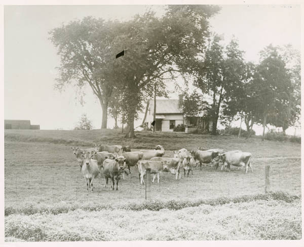 Dairy cattle at Ohio State University